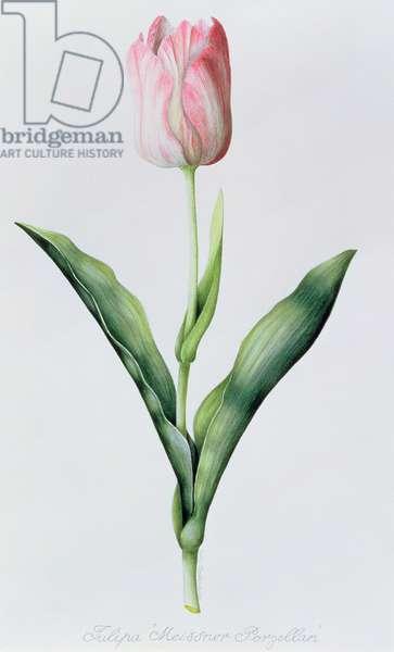 Tulipa Meissner Porgellan (Tulip) 1997 (w/c on paper)