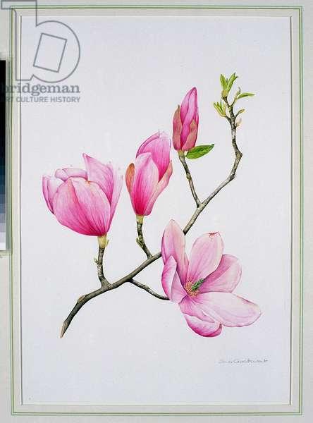 Magnolia (w/c on paper)