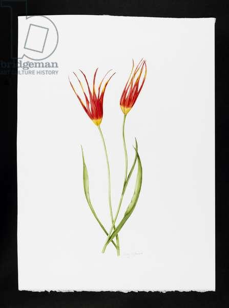Tulip accuminata (w/c on paper)