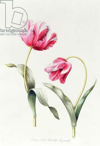 Tulipa Mrs Estelle Rynveld (Tulip) 1997 (w/c on paper)