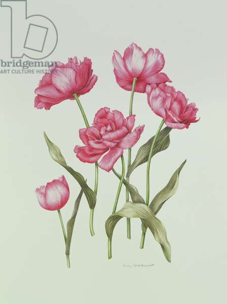 Peony Tulip (w/c on paper)