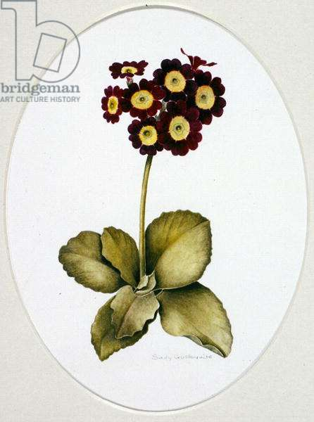 Auricula 'Deep Red' (w/c on paper)