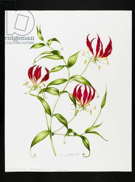 Lilium rothschildiana (w/c on paper)