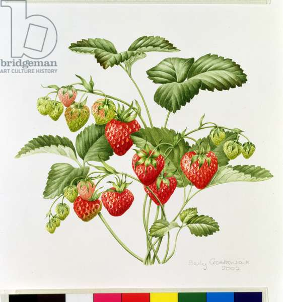 Strawberry, 2002 (w/c on paper)