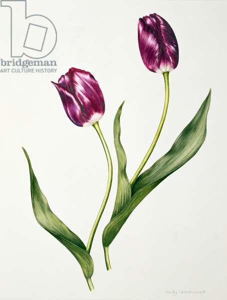Tulip 'Negrita' (w/c on paper)