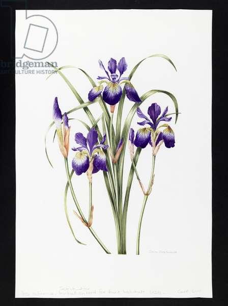 Iris sibirica (w/c on paper)