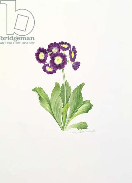 Auricula (w/c on paper)