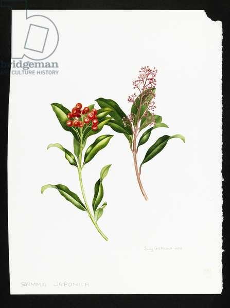 Skimmia japonica (w/c on paper)