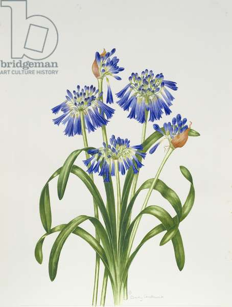 Agapanthus Group (w/c on paper)