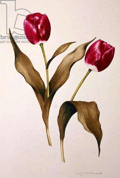 Tulip 'Atilla' (w/c on paper)