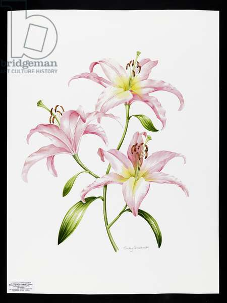 Pink lily (w/c on paper)