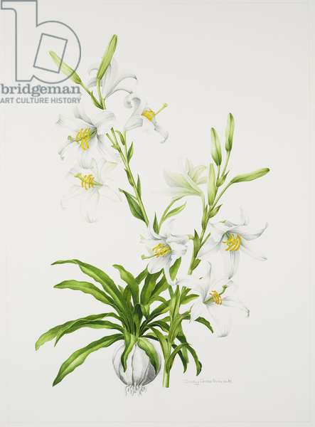 Madonna Lily (w/c on paper)
