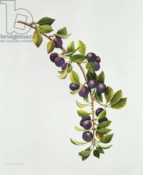 Prunus Insititia, Wild Bullace (w/c on paper)