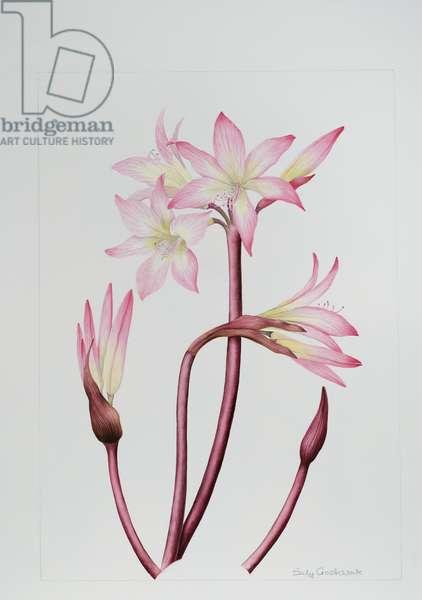Amarylis Belladonna (w/c on paper)