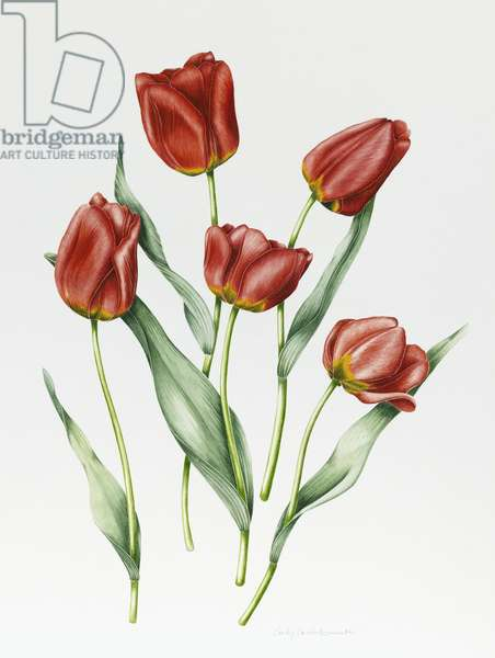 Red Darwin Tulips (w/c with pencil on paper)