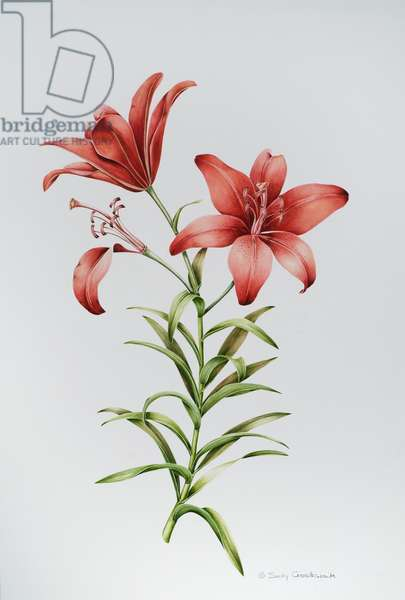 Red Lily II (w/c on paper)