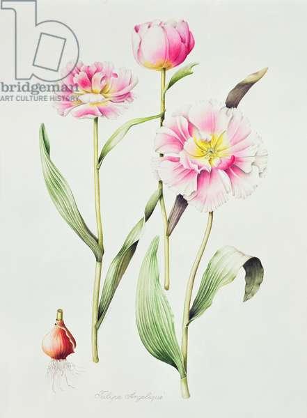 Tulip angelique (w/c on paper)
