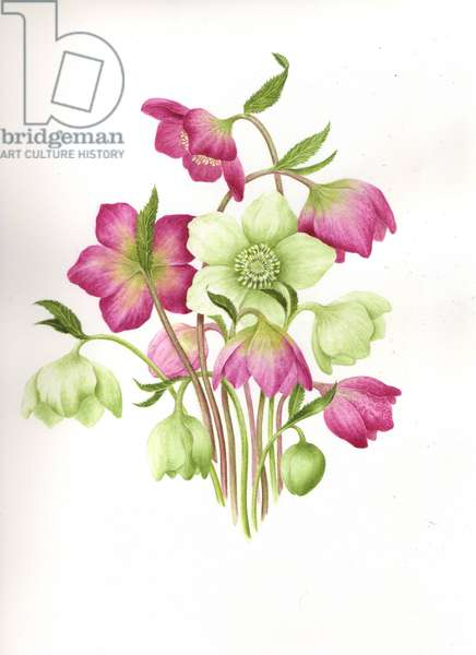 Mixed Hellebores (w/c on paper)