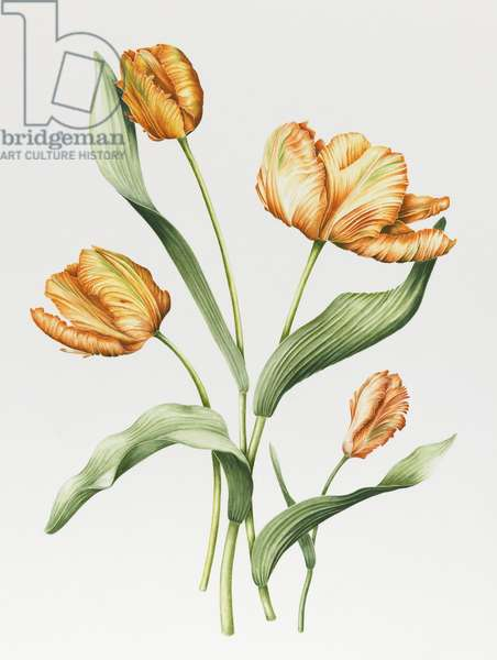 Orange Parrot Tulips (w/c with pencil on paper)
