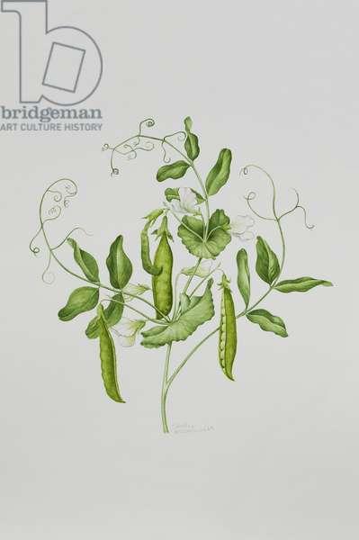 Peas (w/c on paper)