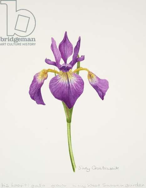 Iris laevitigata (w/c on paper)