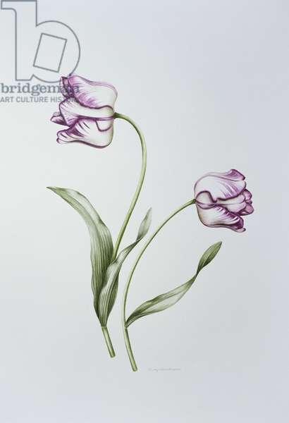 Tulip 'Hatfield' (w/c on paper)