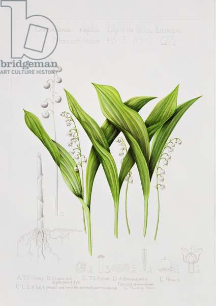 Lily of the valley (w/c on paper)