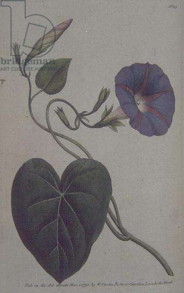 Convolvulus major, or Purple Bind Weed (Convolvulus purpureus), plate 113 from William Curtis' 'The Botanical Garden' (or 'Flower Garden Displayed'), pub. 1789-90 (engraving)