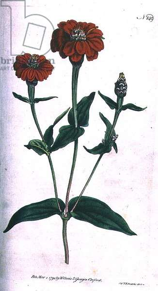 Multi-flowered Zinnia (Zinnia multiflora), plate 149 from William Curtis' 'The Botanical Magazine' (or 'Flower Garden Displayed'), engraved by F. Sansom, pub. 1792 (engraving)