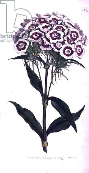 Sweet William or Bearded Pink (Dianthus barbatus), plate 205 from William Curtis' 'The Botanical Magazine' (or 'Flower Garden Displayed'), engraved by the artist, pub. 1792 (engraving)