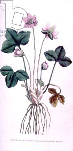 Noble Liverwort (Anemone hepatica), plate 10 from William Curtis' 'The Botanical Magazine' (or 'Flower Garden Displayed'), pub. 1787 (engraving)