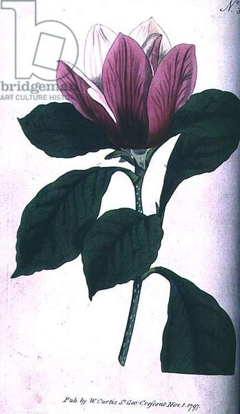 Magnolia (Magnolia purpurea), plate 390 from William Curtis' 'The Botanical Magazine' (or 'Flower Garden Displayed'), pub. 1792 (engraving)