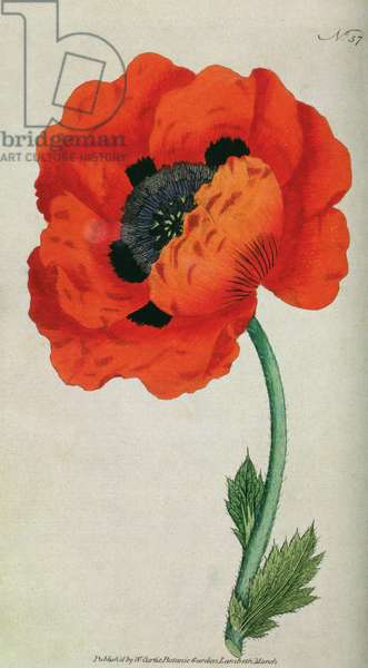 Eastern Poppy (Papaver orientale), plate 57 from William Curtis' 'The Botanical Magazine' (or 'Flower Garden Displayed'), pub. 1787 (engraving)