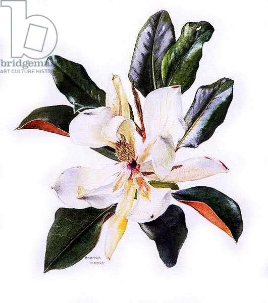 Magnolia grandiflora, c.1980 (w/c on paper)