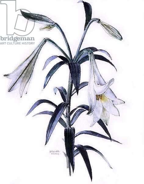 Lilium longiflorum, c.1980 (w/c on paper)
