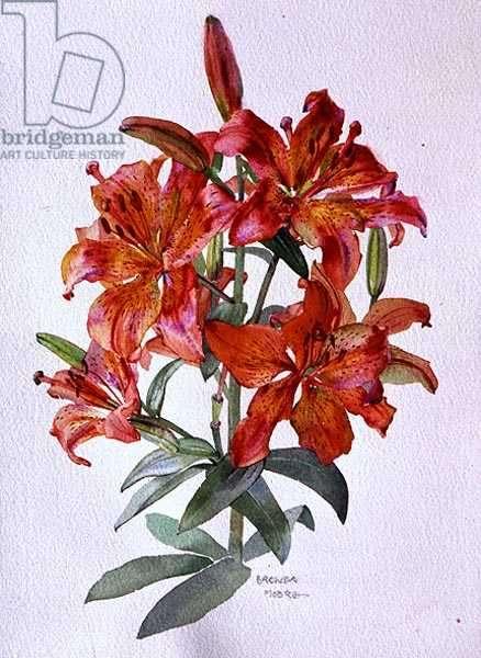 Lilium hybrid, c.1985 (w/c on paper)