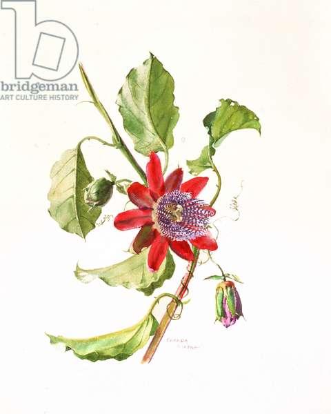 Passiflora Alata, c.1980 (w/c on paper)