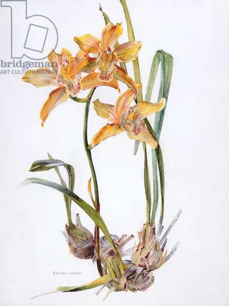 Orchid cymbidium pearlite, c.1980 (w/c on paper)