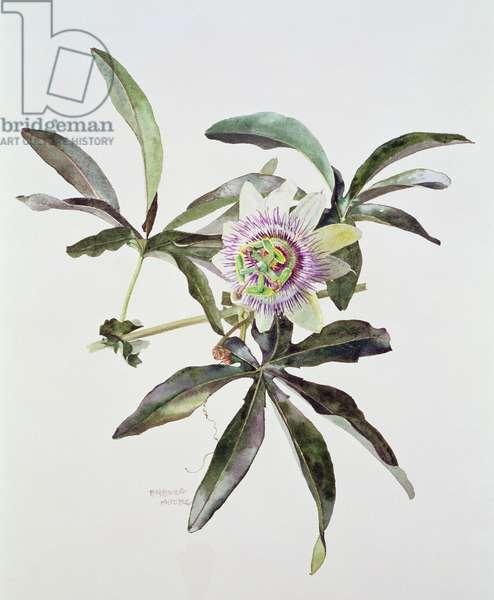 Passiflora Caerulea, c.1980 (w/c on paper)