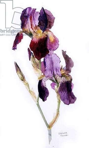 Iris Germanica, c.1980 (w/c on paper)