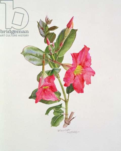 Passiflora Princess Eugenia, c.1980 (w/c on paper)