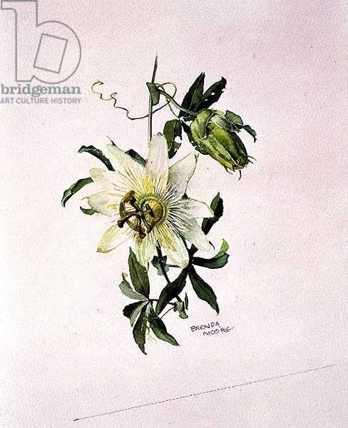Passiflora Constance Elliott, c.1980 (w/c on paper)