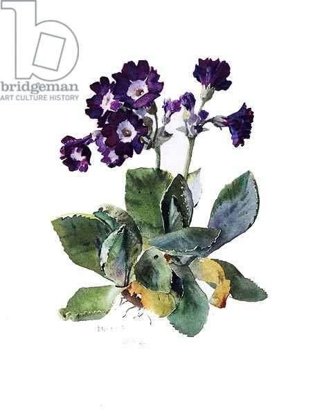 Primula, c.1980 (w/c on paper)