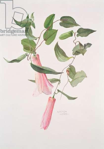 Lapageria rosea, c.1986 (w/c on paper)