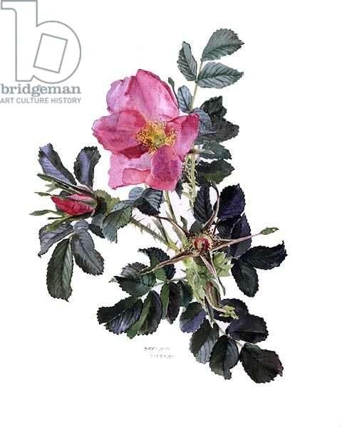 Rose, Fru Dagmar Hastrup, c.1985 (w/c on paper)