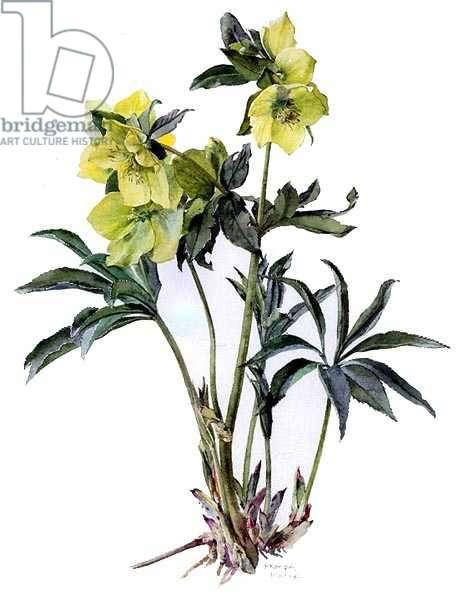Helleborus orientalis citron, c.1990 (w/c on paper)