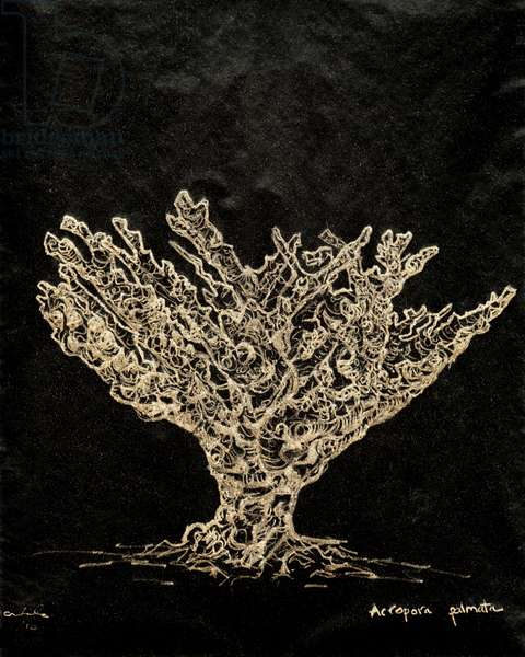 (80.15 W) Staghorn Coral, 2010 (carbon paper drawing)