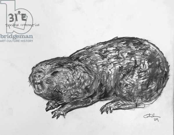 31E Sandy Mole Rat, 2009, (graphite on paper)