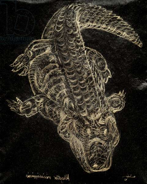 (80.15 W) American Alligator, 2010 (carbon paper drawing)