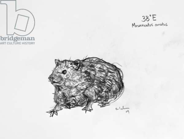 38E Golden Hamster, 2009, (graphite on paper)